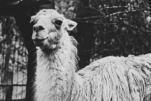 Grayscale Photo of Llama in Front of Trees