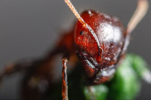 Close-Up Photo of Red Ant