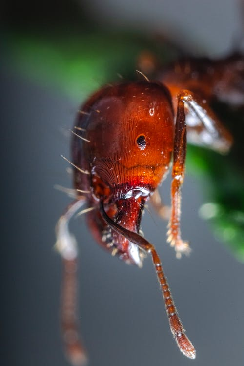 Macro Photography of Red Ant