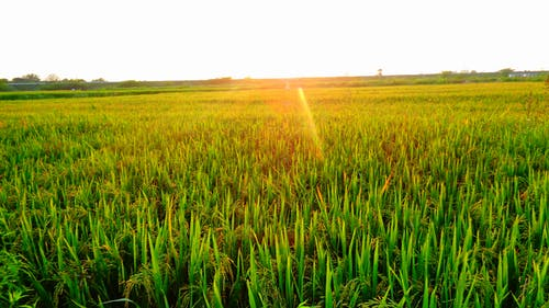 Free stock photo of evening sun, grain fields