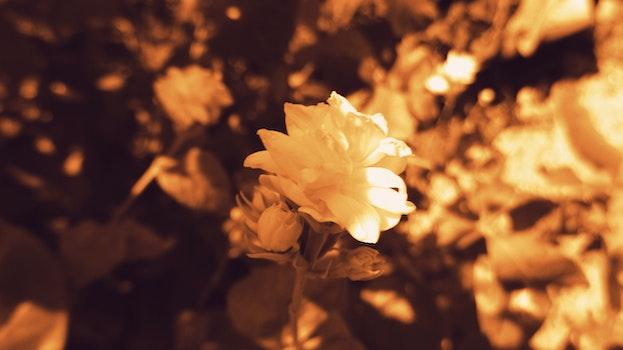 Free stock photo of jasmine