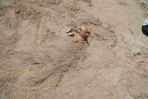 Free stock photo of beach, buried, dog