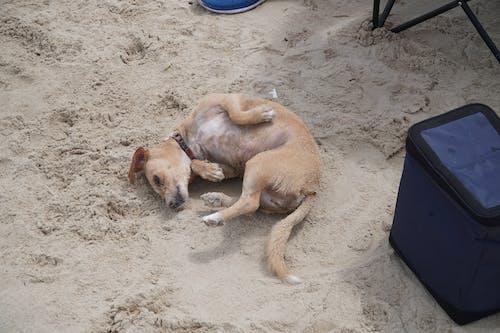 Free stock photo of beach dog, dog, sandy