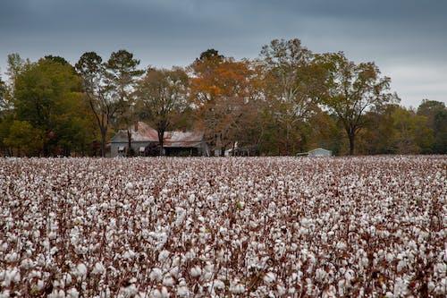 agbiopix, 下落, 收成, 棉花 的 免费素材照片