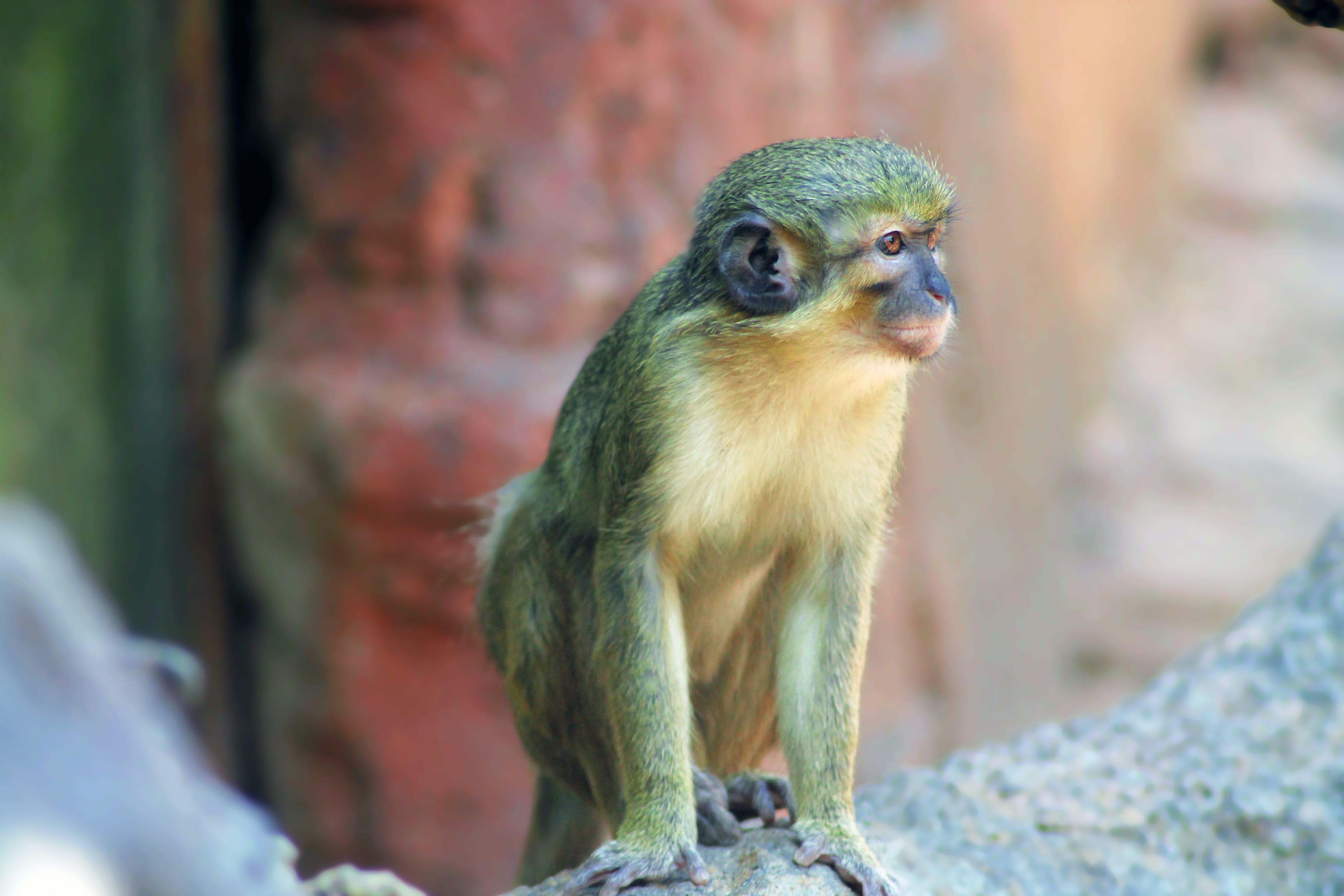 Kostenloses Stock Foto zu affe, indien, tier, zoo