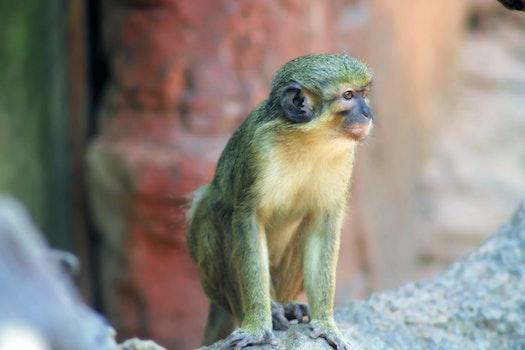 Free stock photo of animal, zoo, monkey, india