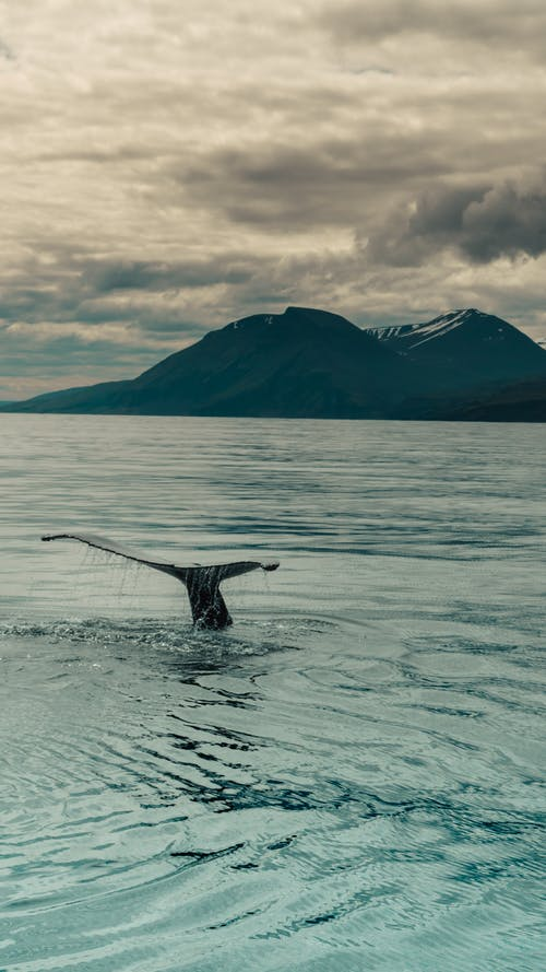 Whale Tail Fins Above Water