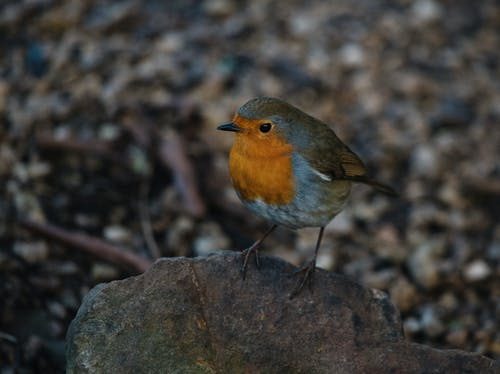 Adorable small robin redbreast bird on stone