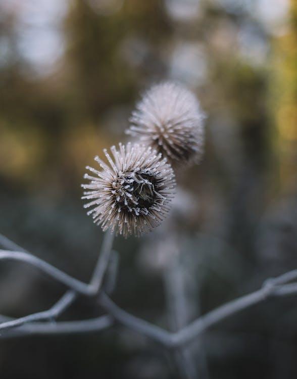 冬季, 刺, 增長