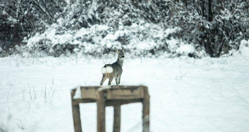 Free stock photo of deer, snow