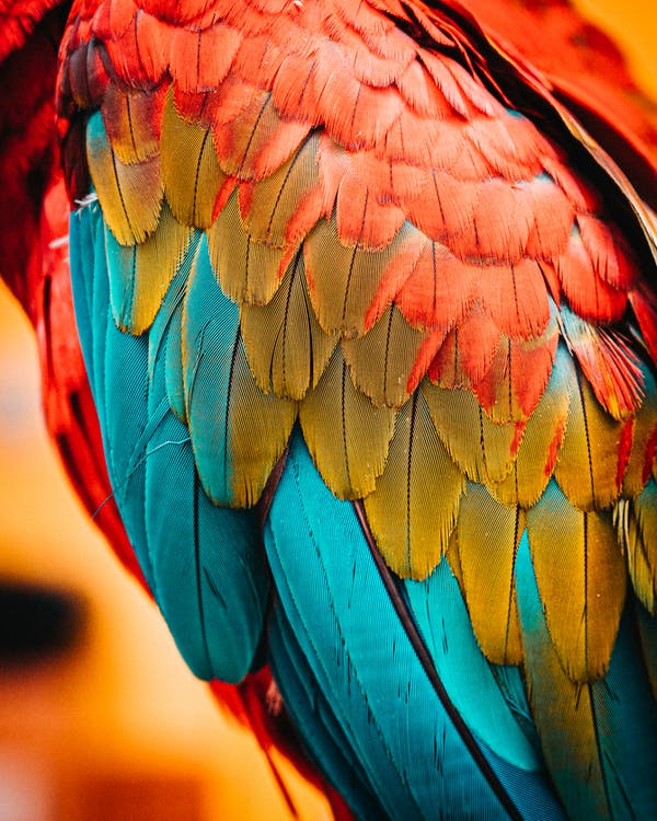 Macro Photo of Red, Blue, and Green Bird Feather