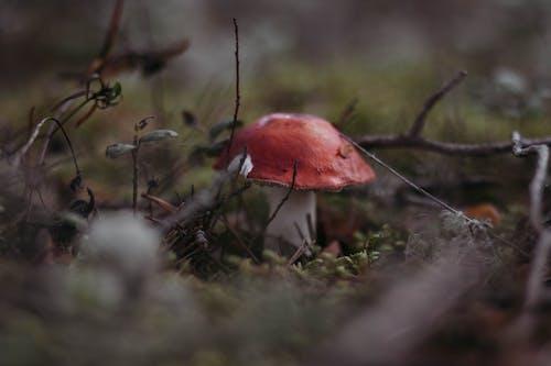 Безкоштовне стокове фото на тему «великий план, глибина різкості, гриб, поганка»