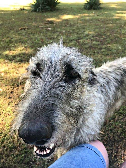 귀여운 강아지, 아일랜드 울프 하운드, 재미있는 개, 큰 개의 무료 스톡 사진