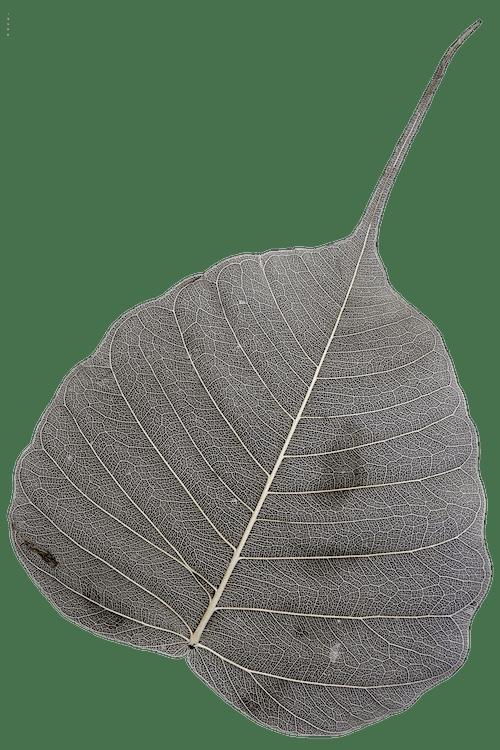 Free stock photo of leaf, leaf skeleton