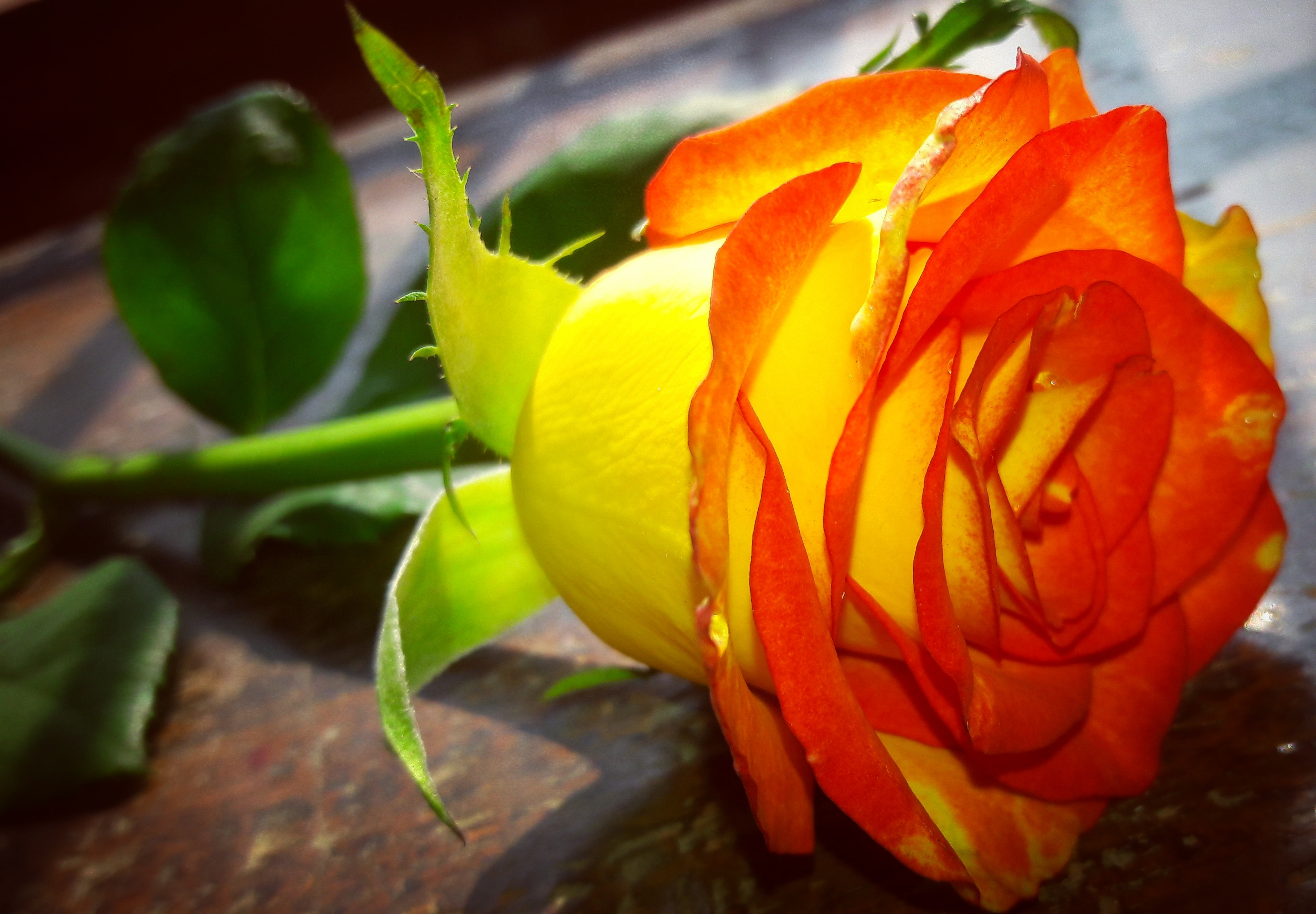 Free stock photo of a beautiful rose tabletop photography yellow free download izmirmasajfo
