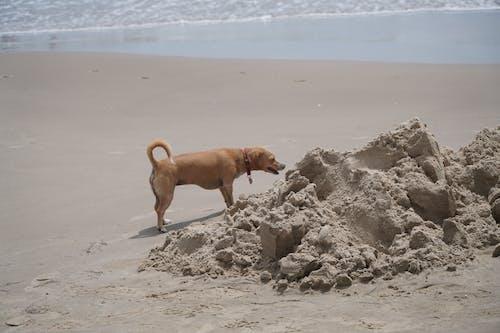 Free stock photo of beach, dog, sandcastle