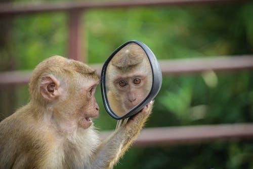 Ảnh lưu trữ miễn phí về con khỉ, gương, linh trưởng, tự nhiên
