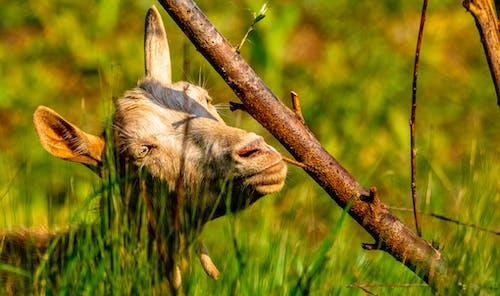 Free stock photo of domestic goat