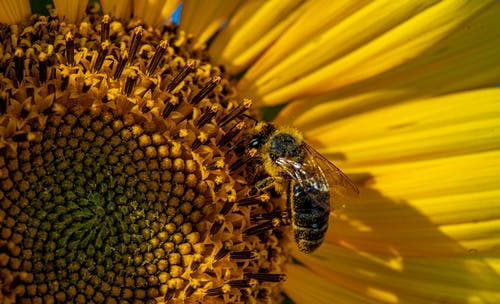Free stock photo of sunflower bee