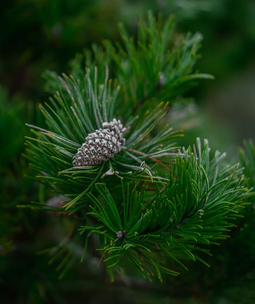 Free stock photo of close up, depth of field, evergreen, frosted