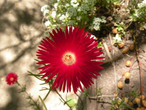 Základová fotografie zdarma na téma červená kytka, červené kytky, krása v přírodě, květiny
