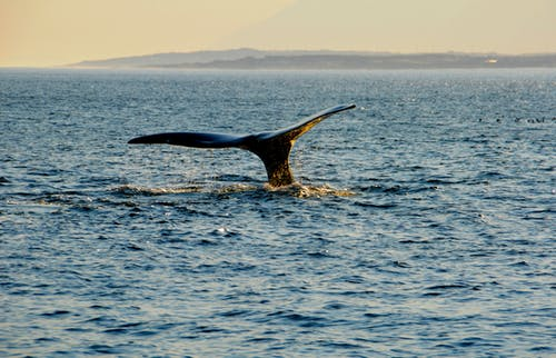 Free stock photo of nature, ocean, whale