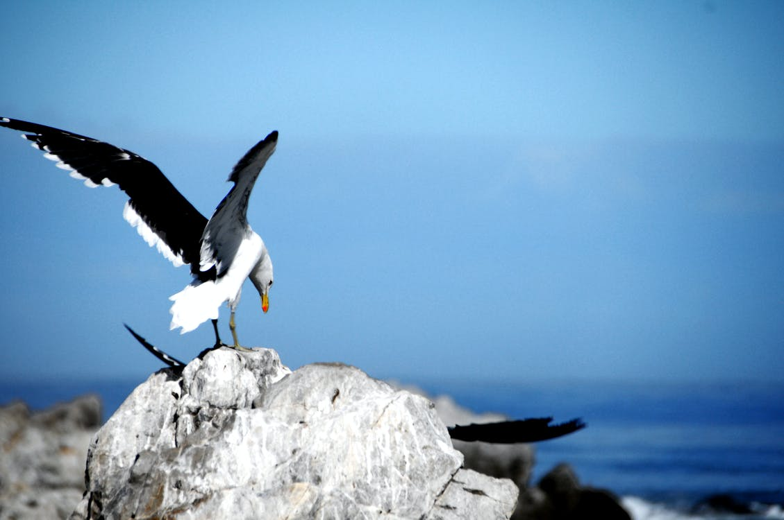 Free stock photo of blue water, seagull, stone
