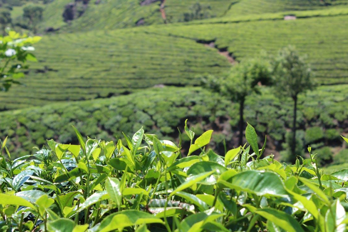 feuilles de thé, jardin, thé vert