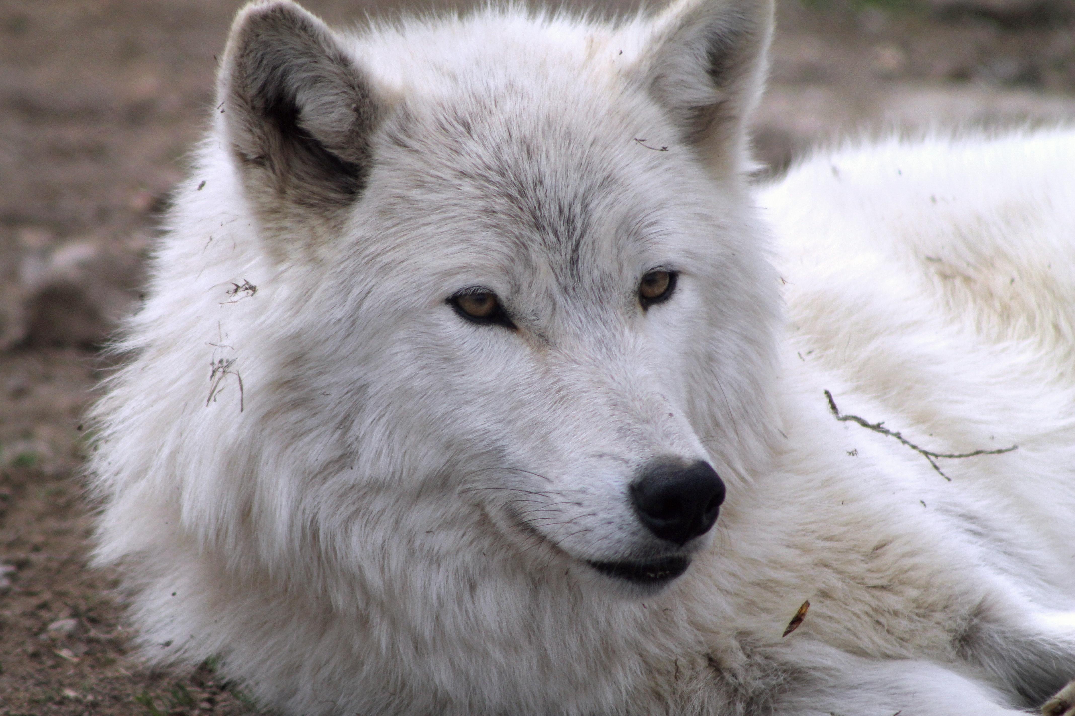 ホッキョクオオカミ 狼 白いオオカミの無料の写真素材
