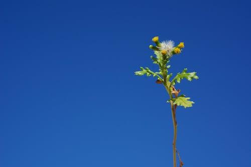 Free stock photo of dandelion, flower, plant