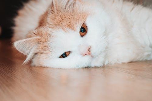 Gratis arkivbilde med dyr, dyrefotografering, gulv, huskatt