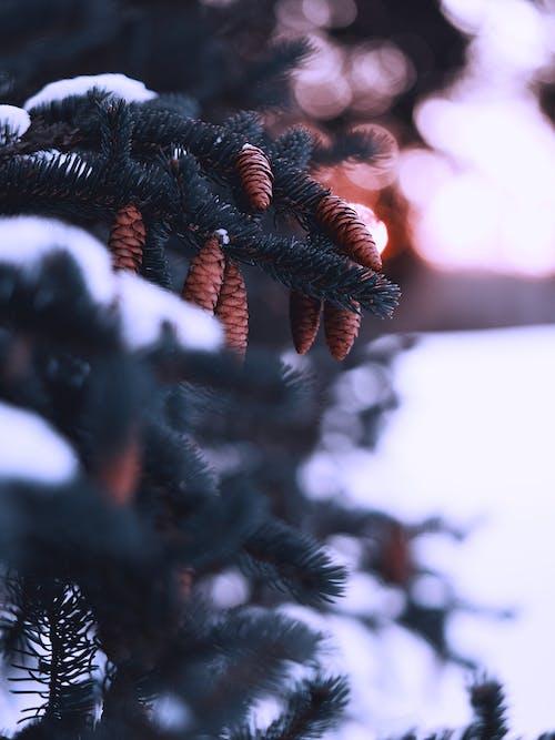 Gratis lagerfoto af dybde, fyrretræ, gren