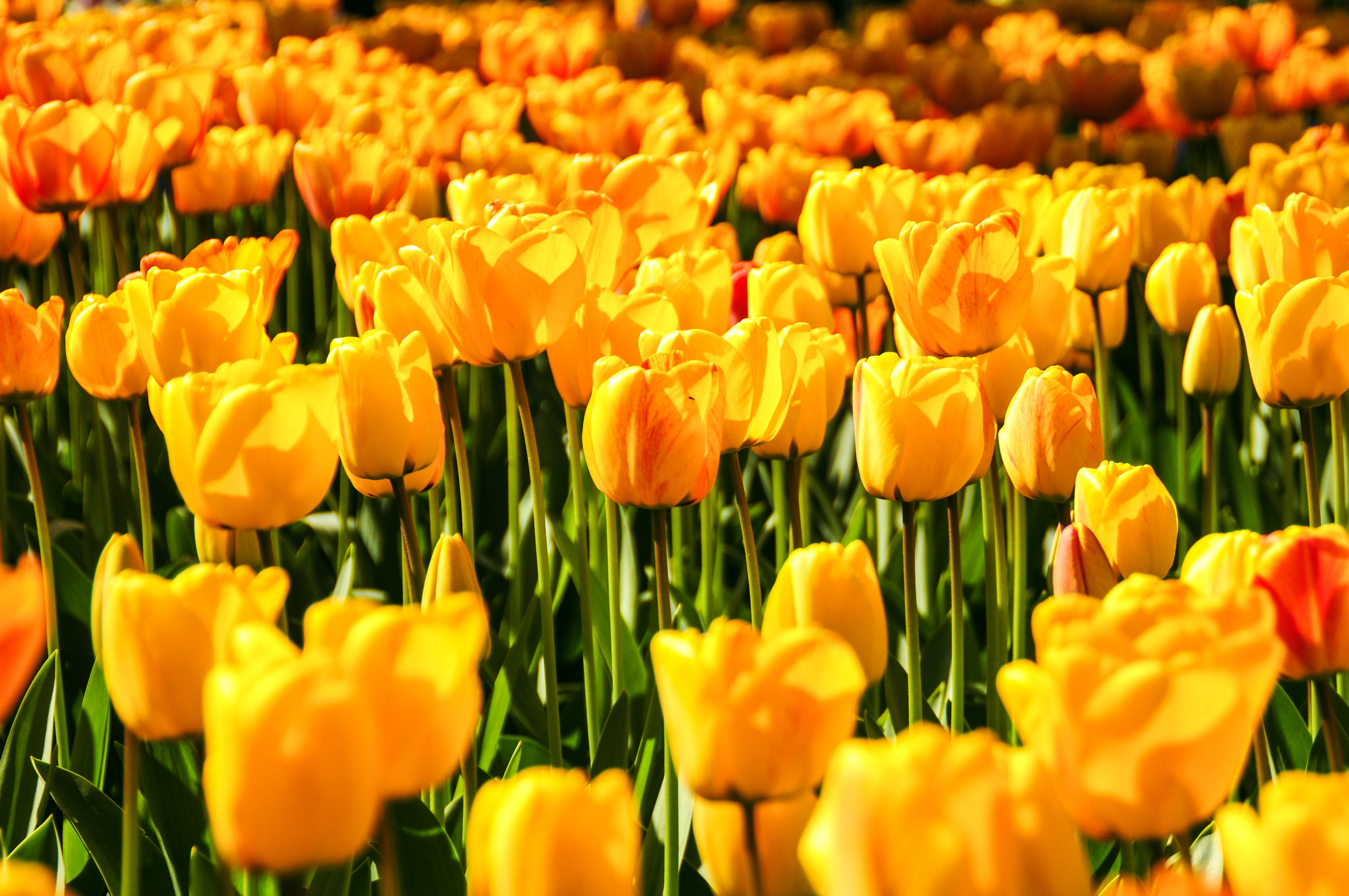 Yellow Tulip Field Landscape Photography
