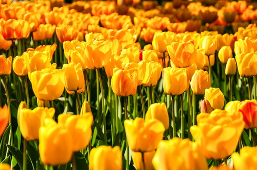 Free stock photo of flowers, yellow, plants, tulips