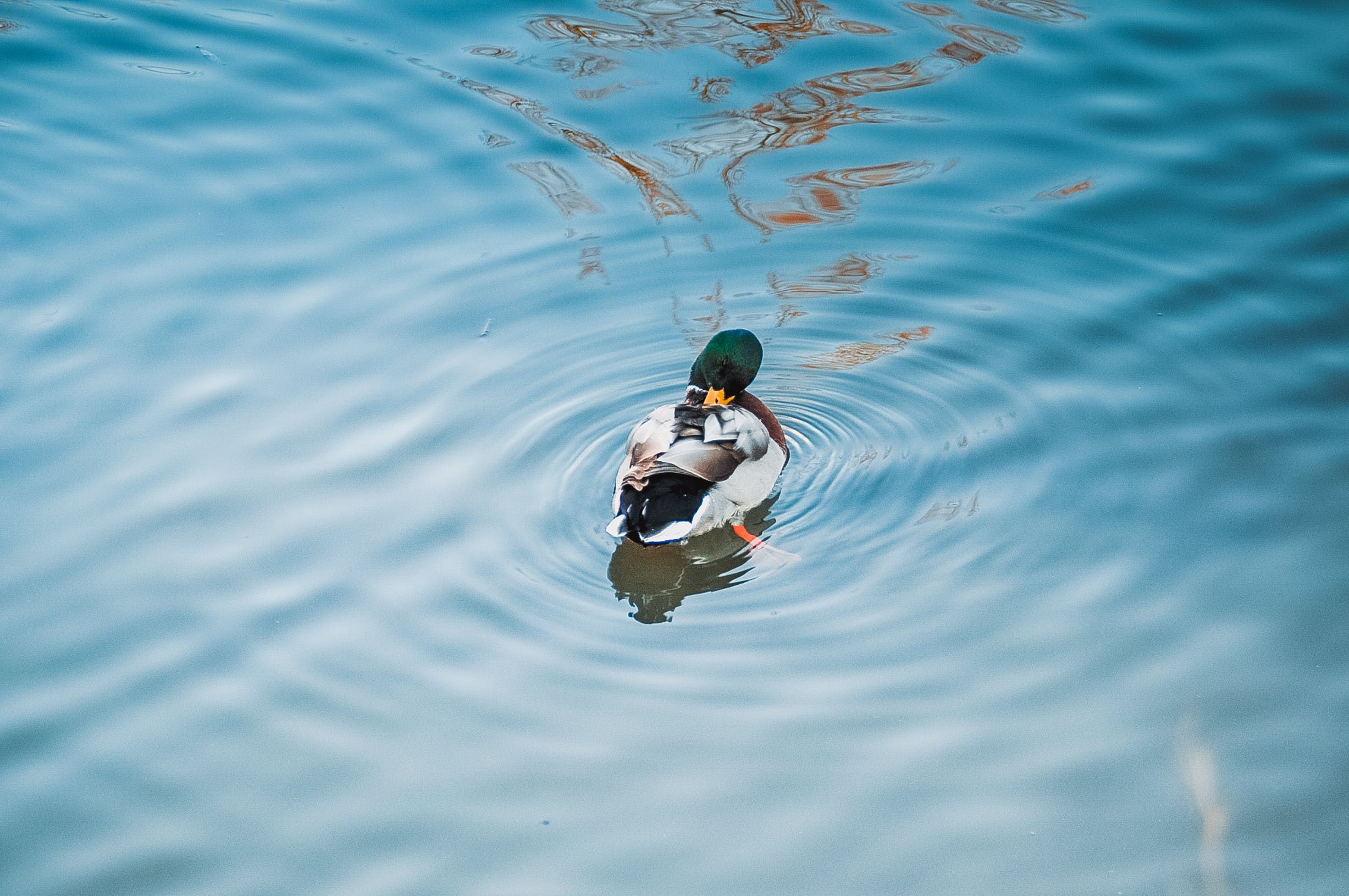 Free stock photo of water, duck, water bird