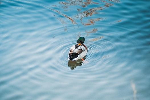 Free stock photo of water, duck, water bird