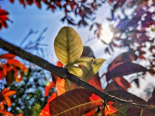 붉은 잎, 태양 플레어의 무료 스톡 사진