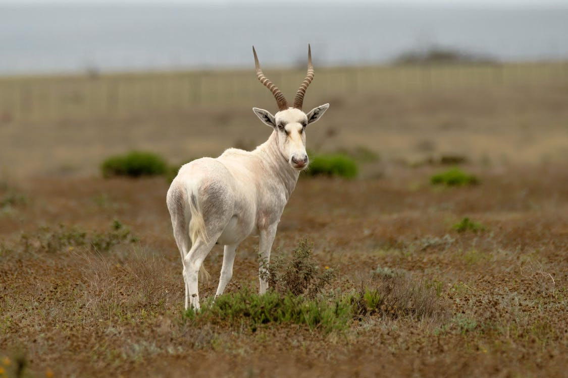 White Feral Goat on Green Grass Field
