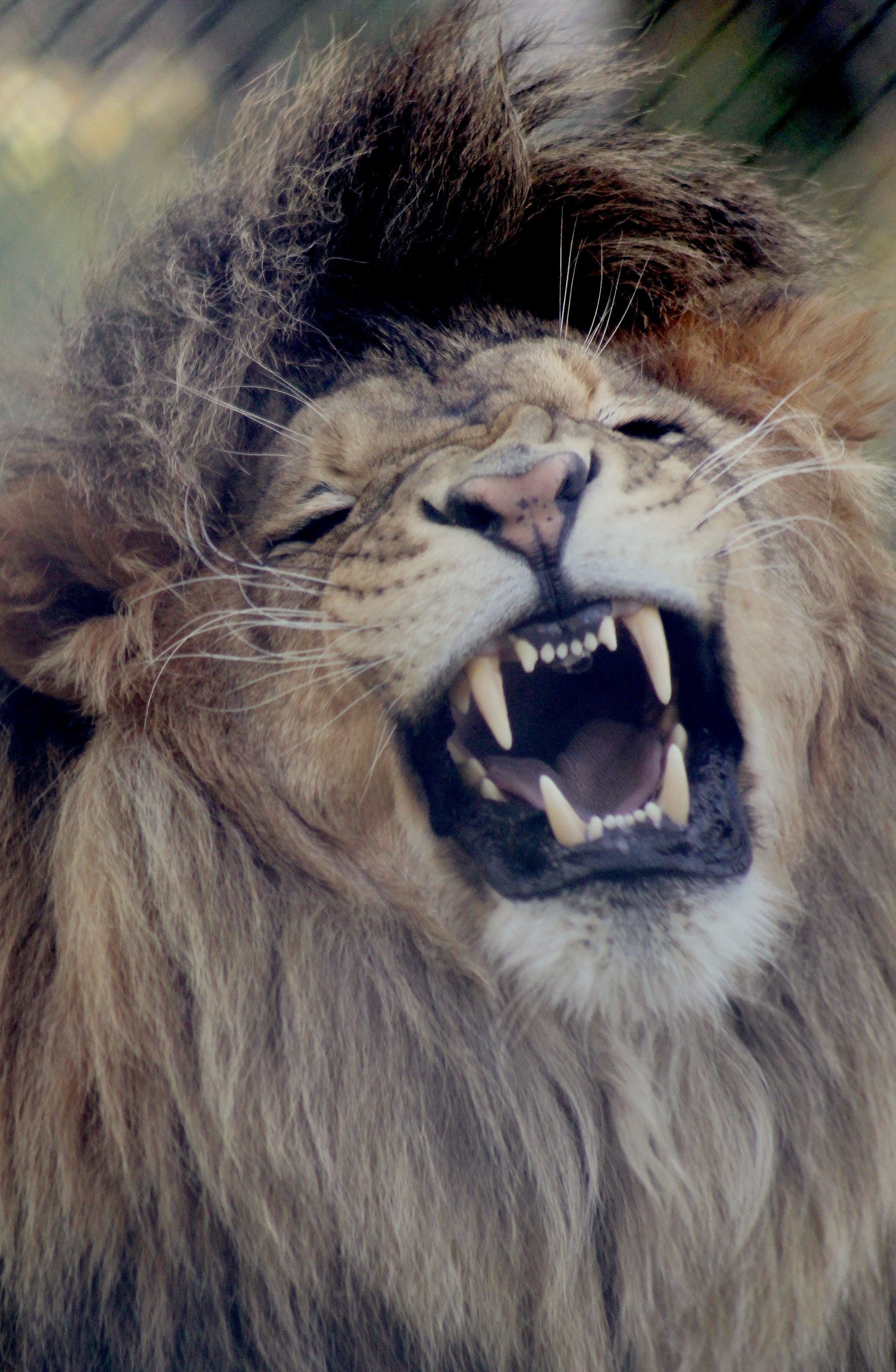 Free stock photo of growl, lion, roar