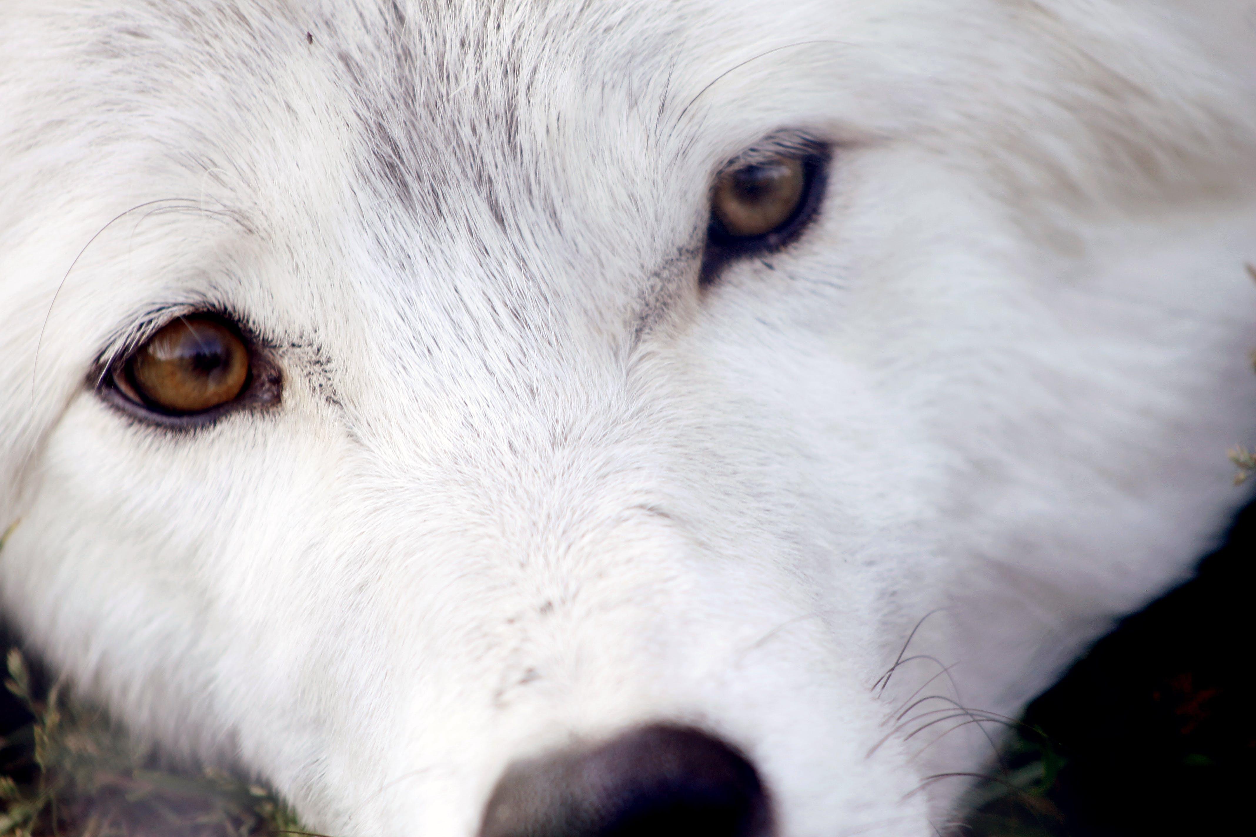 Free stock photo of eyes, white wolf, wolf