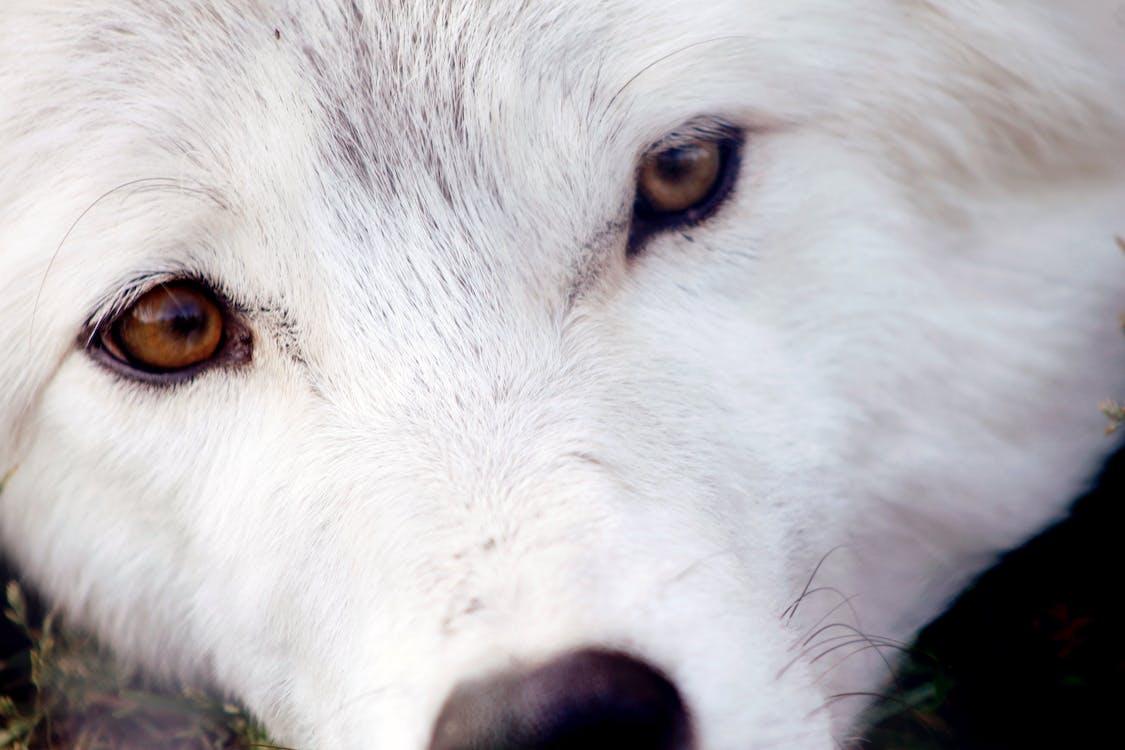 狼 白いオオカミ 目の無料の写真素材