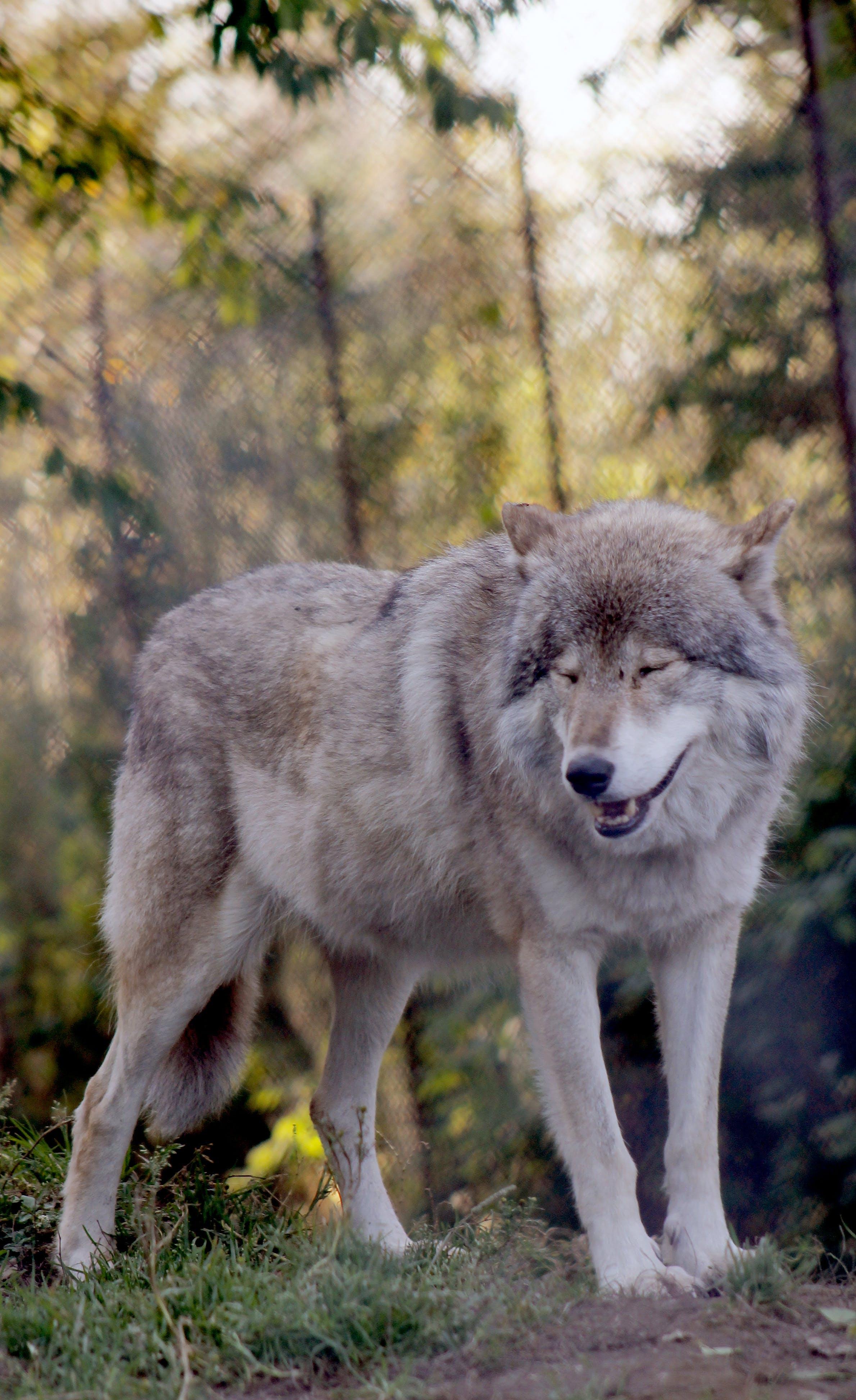 Free stock photo of gray wolf, grey wolf, wolf