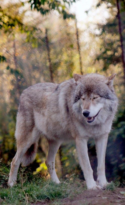 Foto d'estoc gratuïta de llop, llop gris