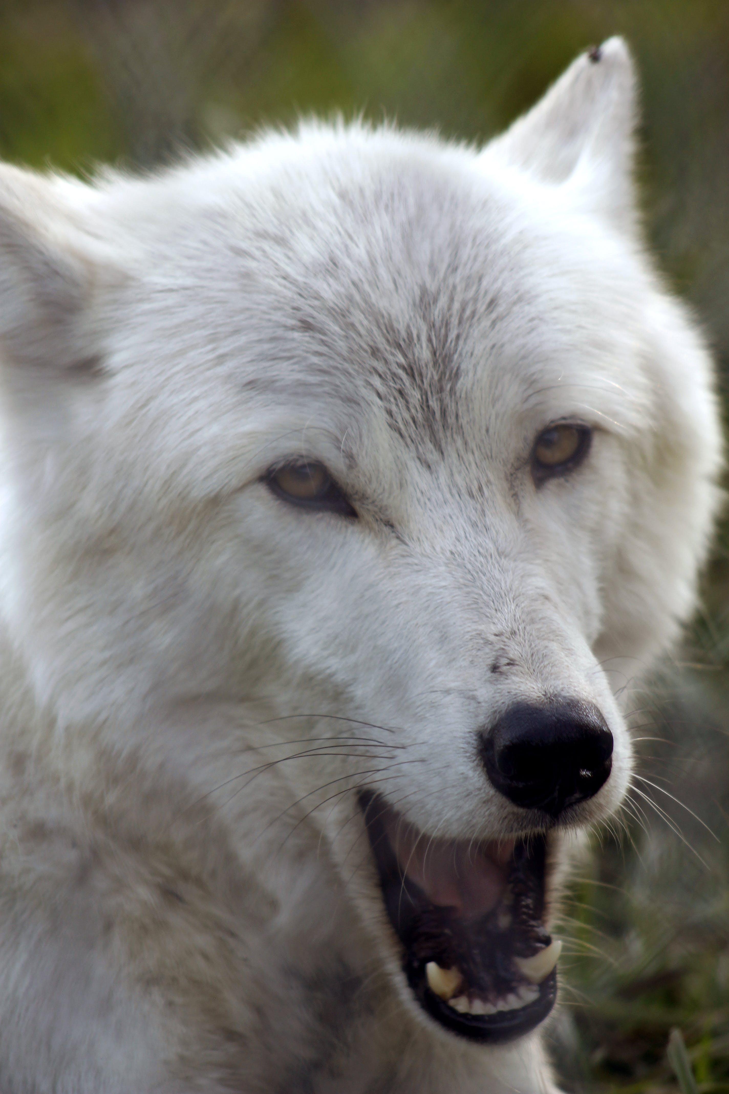 Free stock photo of white wolf, wolf, yawn