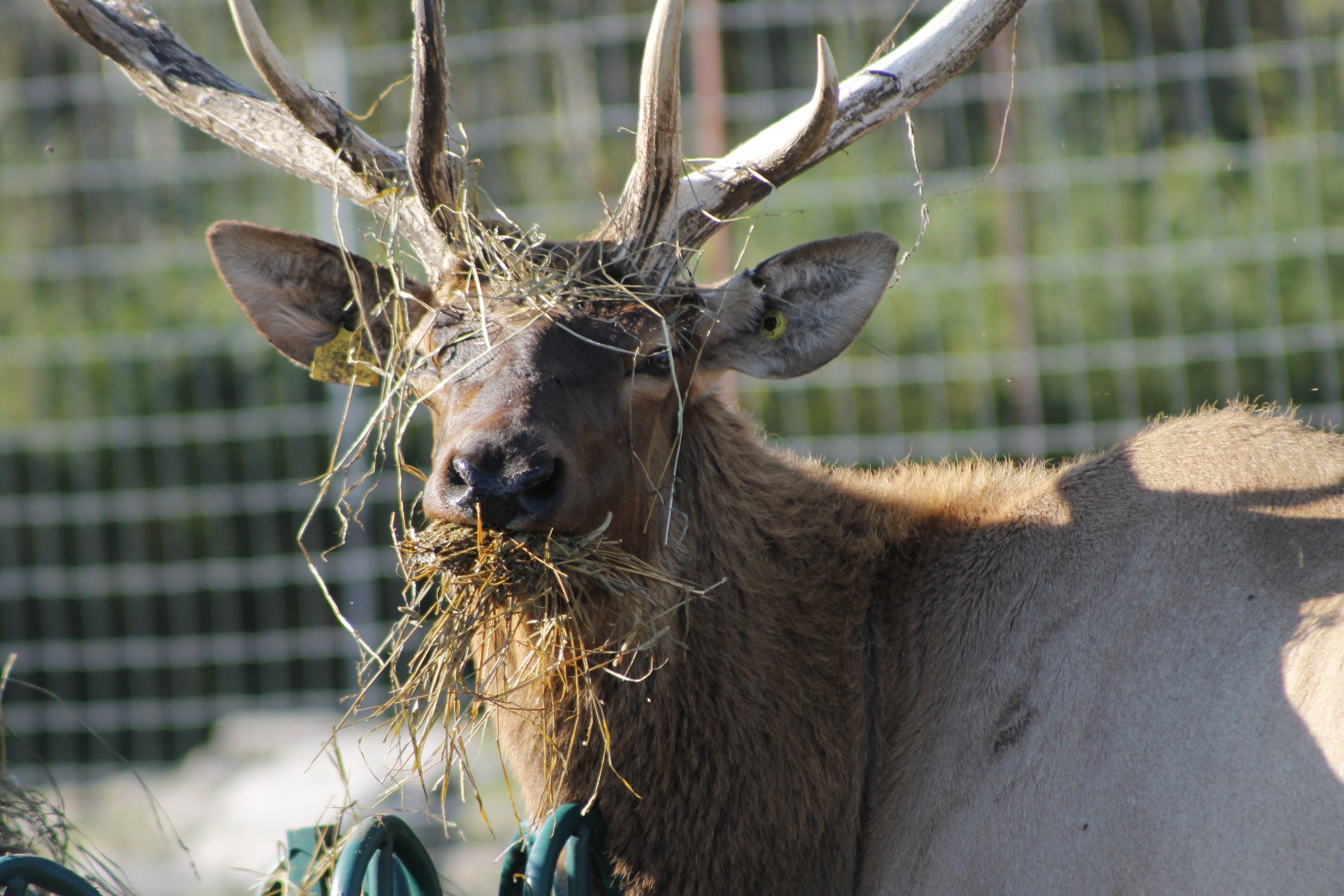 Free stock photo of deer, elk, wapiti