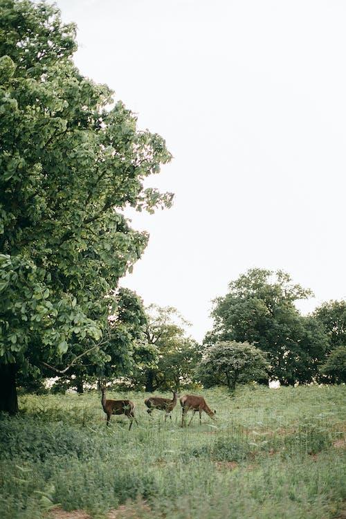 Brauner Hirsch Auf Grünem Grasfeld