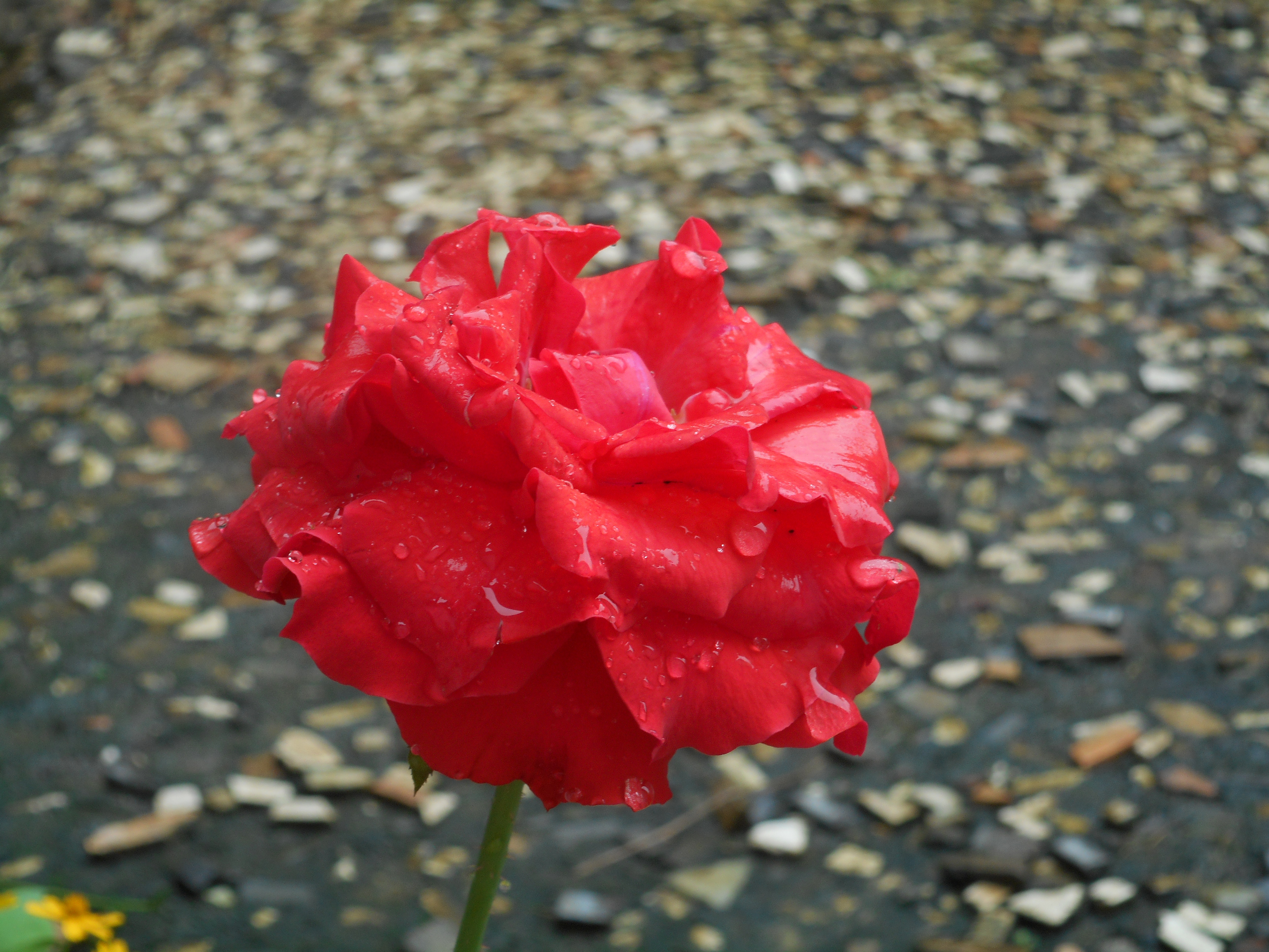 Free stock photo of beautiful flowers red flowers red roses free download izmirmasajfo