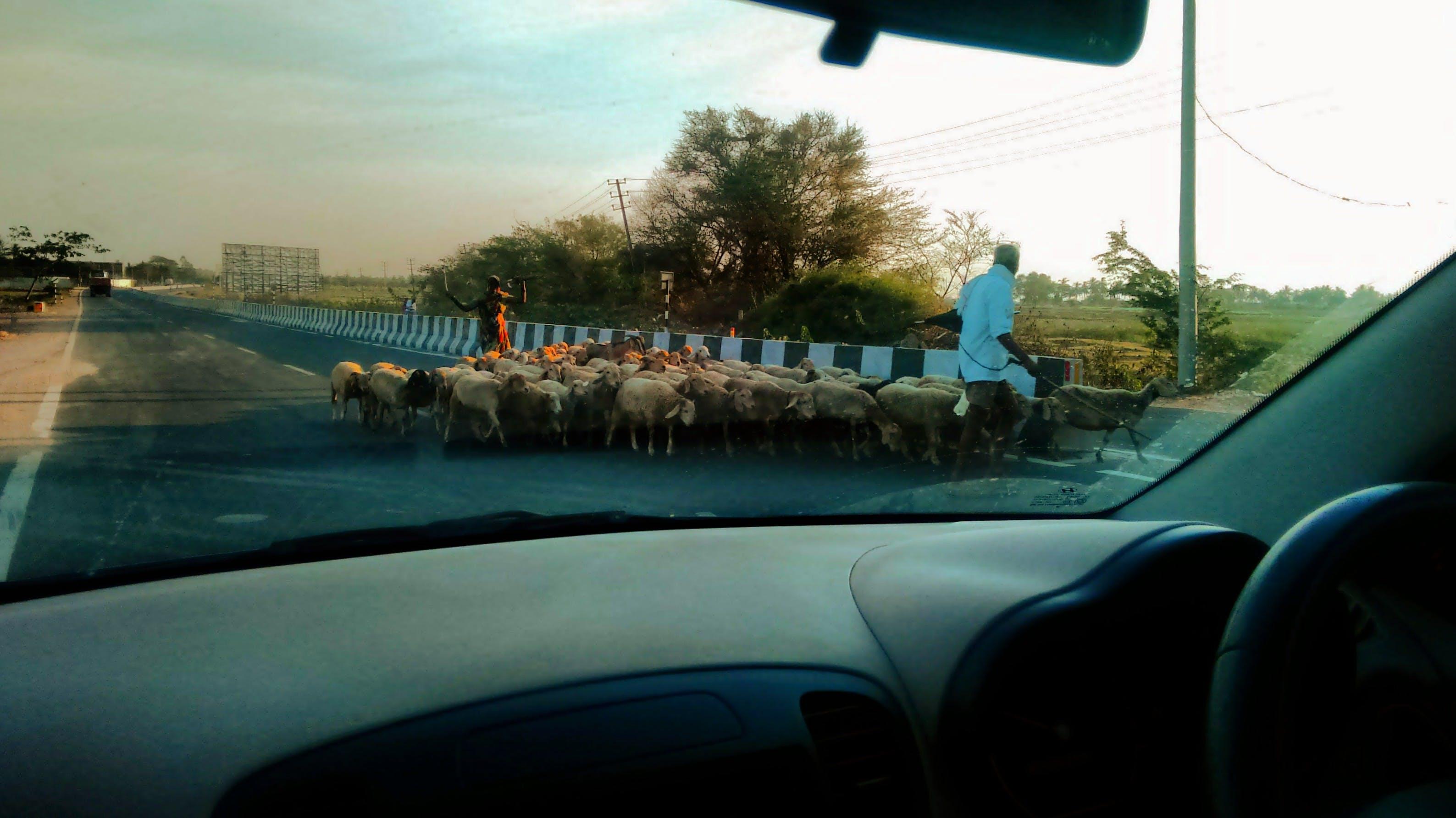 Free stock photo of goats, road, shepherd
