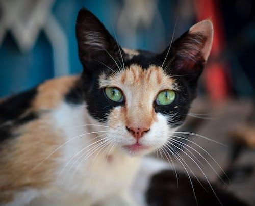 Free stock photo of beautiful cat, cat, cat looking at camera, colorful cat