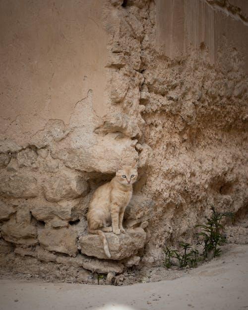 Free stock photo of animal, beautiful cat, blonde cat, camouflage